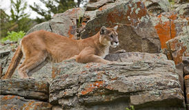 Cougar resting Stock Photos