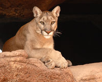 Cougar Resting. A Cougar resting on a sandstone cliff Stock Images