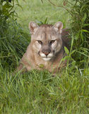 Cougar in a Shady Resting Place Royalty Free Stock Photos