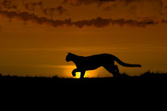 Cougar silhouette Stock Images