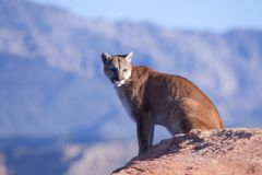Cougar sitting on a sandstone ledge. A cougar sits on a sandstone ledge in the morning sun with distant mountains in the background Royalty Free Stock Images