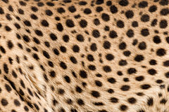 Cougar skin Royalty Free Stock Photos