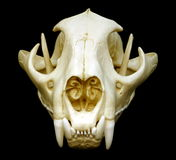 Cougar Skull Royalty Free Stock Photo