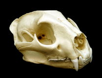 Cougar Skull Royalty Free Stock Photography