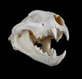 Cougar Skull. Portrait of a Cougar Skull Royalty Free Stock Photos