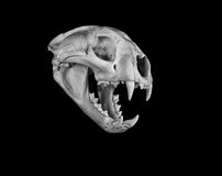 Cougar Skull Stock Photography