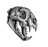 Cougar Skull Royalty Free Stock Photos