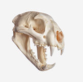 Cougar Skull Royalty Free Stock Images