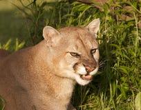 Cougar Snarl Royalty Free Stock Image