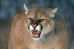 Cougar snarling, with bared teeth. Angry cougar with fangs bared and snarling stock image