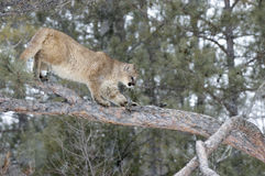 Cougar in snowfall. Mountain lion in tree,winter Royalty Free Stock Photo