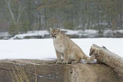 Cougar in snowfall Stock Images