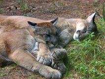 Cougar Snuggling. Two cougars sleeping together in a field Royalty Free Stock Images