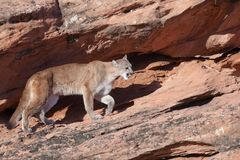 Cougar stalking along a ledge of red sandstone in Southern Utah. A cougar stalks along a ledge of red sandstone in Southern Utah with the morning sun casting her Royalty Free Stock Images