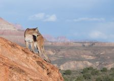 Cougar standing on red sandstone ledge looking over it`s shoulder towards the right with southwestern landscape in the background Stock Image