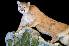 Cougar. Stuffed cougar (Puma concolor) isolated on a black background Stock Images