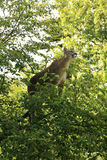 Cougar in a tree. A mountain lion standing on a tree branch royalty free stock images