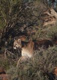 Cougar walking between desert bushes Royalty Free Stock Image