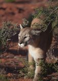 Cougar walking between desert bushes Stock Photography