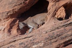 Cougar walking out of a sandstone arch. A cougar walks out of a red sandstone arch in the desert of Southern Utah Stock Photography