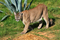 Cougar walking Stock Photo
