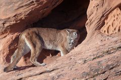 Cougar walking into a sandstone arch and looking back over it`s shoulder. A cougar walks into a red sandstone arch in the desert of Southern Utah and looks back Royalty Free Stock Images