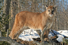 Cougar watching over his territory Royalty Free Stock Photos