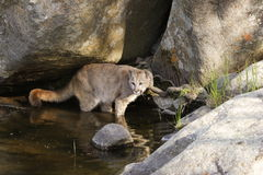 Cougar at Water Hole. Young cougar playing in water hole Royalty Free Stock Photo