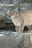 Cougar in winter. Cougar portrait in light snowfall Stock Photo
