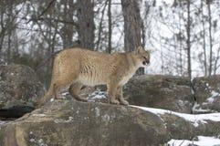 Cougar in winter. Cougar on rock ridge,Northern Minnesota Stock Photo