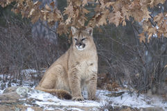 Cougar in winter coat Royalty Free Stock Photography