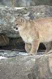 Cougar in winter coat. Mountain lion on rock ridge,Northern Minnesota Stock Photography