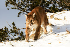 Cougar in winter snow Royalty Free Stock Photos