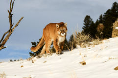 Cougar in winter snow Royalty Free Stock Photo