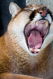 Cougar Yawn. A closeup of a cougar yawning in the sun Stock Images