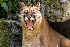 Cougar at the Zoo in Seattle, Washington. A cougar looking fierce with his teeth showing royalty free stock photo