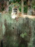 Cougar1 Photo stock