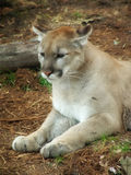 Cougar2 Royalty Free Stock Images