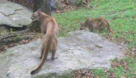 Cougars στη βόρεια Καρολίνα στοκ φωτογραφία με δικαίωμα ελεύθερης χρήσης