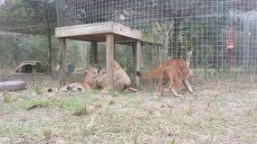 cougars στοκ εικόνα με δικαίωμα ελεύθερης χρήσης