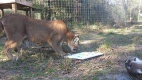 cougars στοκ φωτογραφίες