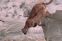 Cougars. Cougar with her kit jumping from rock ledge. North Dakota Badlands Stock Photography