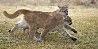 Cougars (felis concolor) in Tandem. Two young mountain lions (felis concolor) run across grass in tandem Stock Image