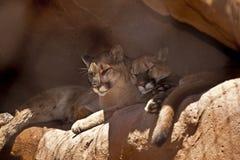 cougars NAP που παίρνει δύο στοκ εικόνες