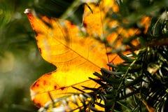Cought romantico della foglia di autunno dall'albero Fotografia Stock Libera da Diritti