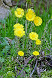Coughwort, medicinal plant Stock Photos