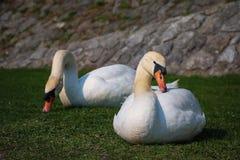 Coule av vita svanar som äter och kopplar av på flodstrand Royaltyfria Bilder
