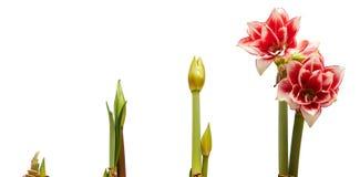 Coulent les étapes croissantes de la pousse à fleurir photo stock