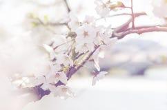 Couleur abstraite des fleurs de cerisier de l'Himalaya sauvages blanches, arbre de Sakura de vintage Images libres de droits