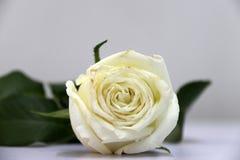 Couleur blanche de feuille rose et verte sur le plancher blanc Photo stock